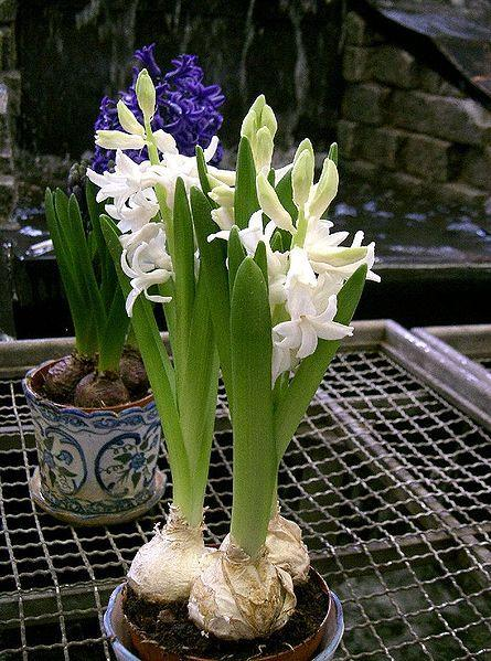 Photo of Hyacinths (Hyacinthus) uploaded by sandnsea2