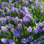Picture of a bed of hyacinths taken at Leeds Castle in