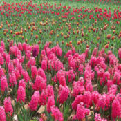 Hyacinth & Tulip cultivation,  Photo by: John O'Neill