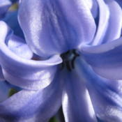 Closeup of Hyacinth  photo by: Senet