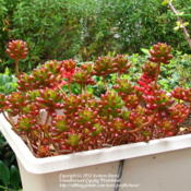 Location: At our garden - Central Valley area, CADate: 2012-04-10Sedum rubrotinctum during early Spring