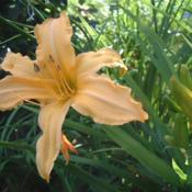 Date: 2006-08-01Photo Courtesy of Nova Scotia Daylilies Used with Permission
