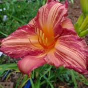 Date: 2011-07-22Photo Courtesy of Nova Scotia Daylilies Used with Permi