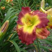 Date: 2009-07-29Photo Courtesy of Nova Scotia Daylilies Used with Permission
