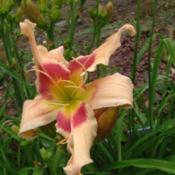 Date: 2010-07-11Photo Courtesy of Nova Scotia Daylilies Used with Permi