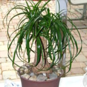Location: Indoors - Central Valley area, CADate: 2012-04-11Ponytail palm with deeper green colored leaves