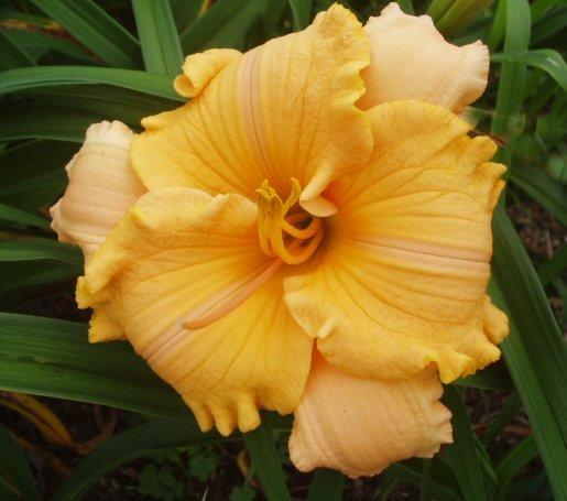 Photo of Daylily (Hemerocallis 'Pure and Simple') uploaded by vic