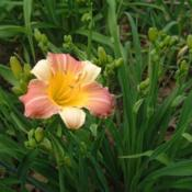 Date: 2008-07-02Photo Courtesy of Nova Scotia Daylilies Used with Permission