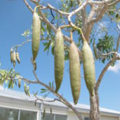 Location: Southwest FloridaDate: April 2012The large seedpods form almost immediately after the bloom cycle.