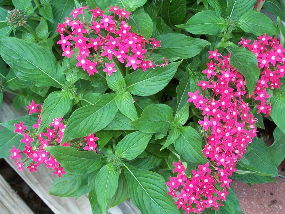 Photo of Star Flower (Pentas lanceolata) uploaded by LindaTX8