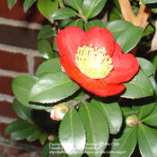 Location: Winston-Salem, NCDate: 2007-12-02cheerful christmas-red bloom