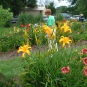 Date: 2004-07-01Photo Courtesy of Nova Scotia Daylilies Used with Permi