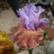 Location: My garden in Bakersfield, CADate: April 11, 2012Second day bloom on a rainy day