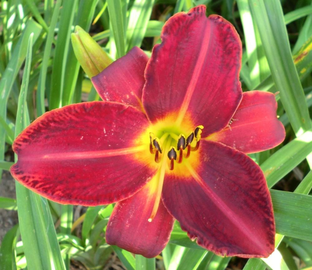 Photo of Daylily (Hemerocallis 'Dragon Lore') uploaded by Ditchlily