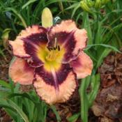 Date: 2010-07-10Photo Courtesy of Nova Scotia Daylilies Used with Permi