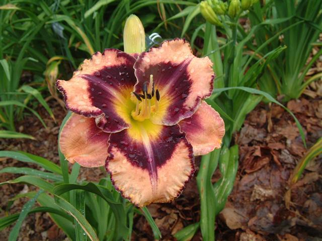 Photo of Daylily (Hemerocallis 'Rock Solid') uploaded by vic