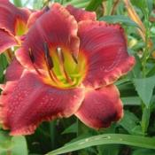 Date: 2005-08-11Photo Courtesy of Nova Scotia Daylilies Used with Permi