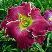Location: Thoroughbred Daylilies - GreenhouseDate: 2004Photo © Squire Gardens