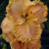 Location: Thoroughbred Daylilies - GreenhouseDate: 2005Photo © Squire Gardens