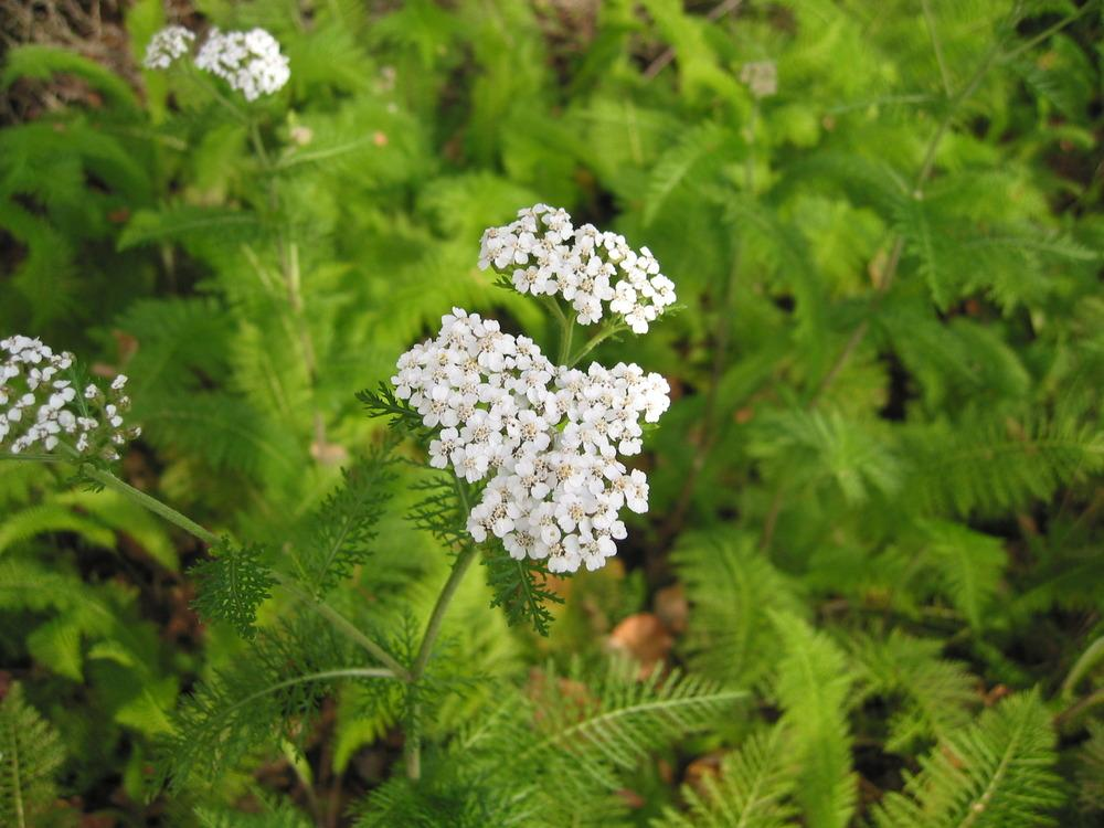 Photo of Yarrow (Achillea millefolium) uploaded by Mangogirl
