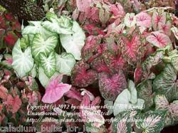 Thumb of 2012-04-15/caladiums4less/c966b4