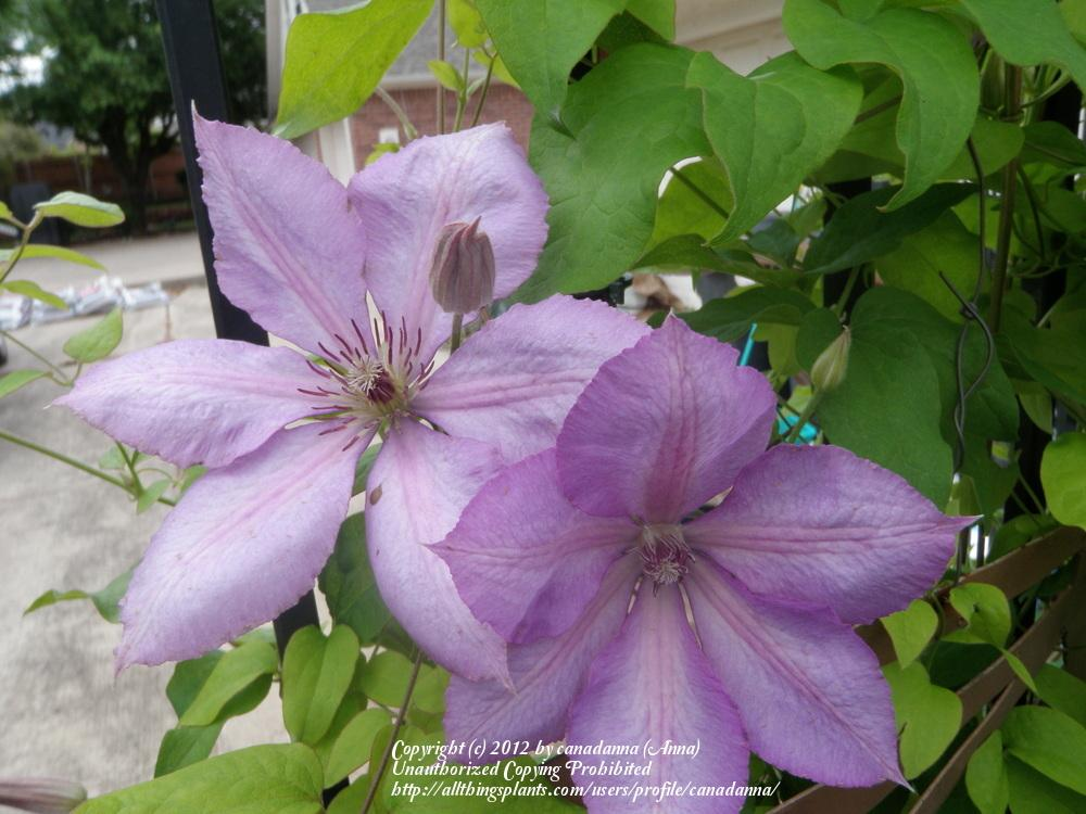 photo of the bloom of clematis clematis viticella. Black Bedroom Furniture Sets. Home Design Ideas