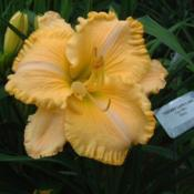 Date: 2004-07-28Photo Courtesy of Nova Scotia Daylilies Used with Permi