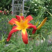 Date: 2008-07-10Photo Courtesy of Nova Scotia Daylilies Used with Permission