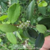 Location: Jefferson County, TexasDate: March 19, 2012Female flowers of Yaupon Holly