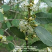 Location: Jefferson County, TexasDate: March 19, 2012Male flowers of Yaupon Holly