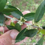 Location: Jefferson County, TexasDate: March 19, 2012Male flower of Yaupon Holly