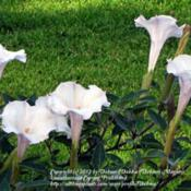 Location: My front yard, N Watauga TXDate: 2011-07-04Giant blooms!