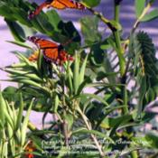 Location: My front yard N. Watauga TXDate: 2011-10-11Host for Monarchs & Queen Butterflies