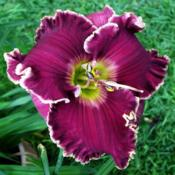 Location: Fort Worth TXDate: 2012-04-17Daylily (Hemerocallis Ehren Thomas)