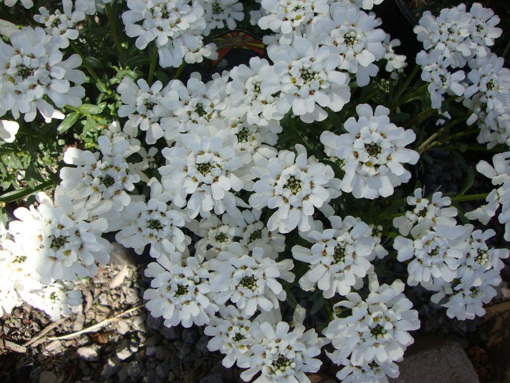 Photo of Evergreen Candytuft (Iberis sempervirens 'Purity') uploaded by Paul2032