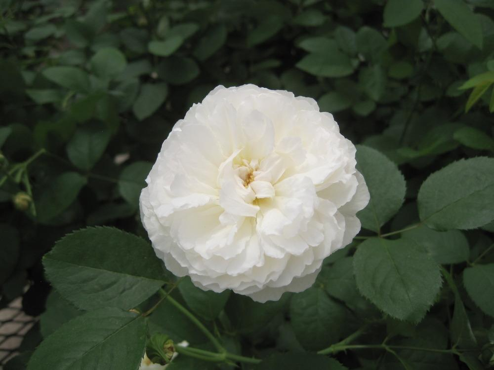 Photo of Rose (Rosa 'Winchester Cathedral') uploaded by Skiekitty