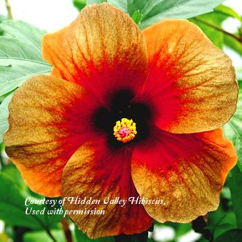 Photo of Tropical Hibiscus (Hibiscus rosa-sinensis 'Midnight Dream') uploaded by SongofJoy
