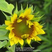 Location: Daytona Beach, FloridaDate: 2012-04-16 Another Sunflower (from seed scattered by birds from th