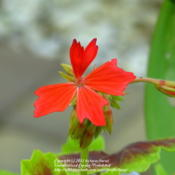 Location: At our garden - Central Valley area, CADate: 2012-04-17Close-up of first bloom Pelargonium h. 'Vancouver Centennial'
