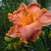 Date: 2003-07-27Photo Courtesy of Nova Scotia Daylilies Used with Permission