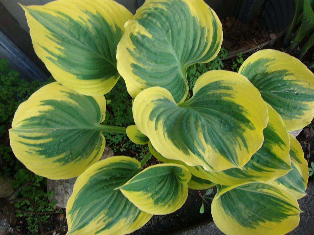 Photo of Hosta (Hosta 'Liberty') uploaded by Paul2032