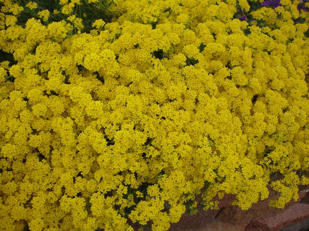 Photo of Basket of Gold (Aurinia saxatilis) uploaded by Paul2032