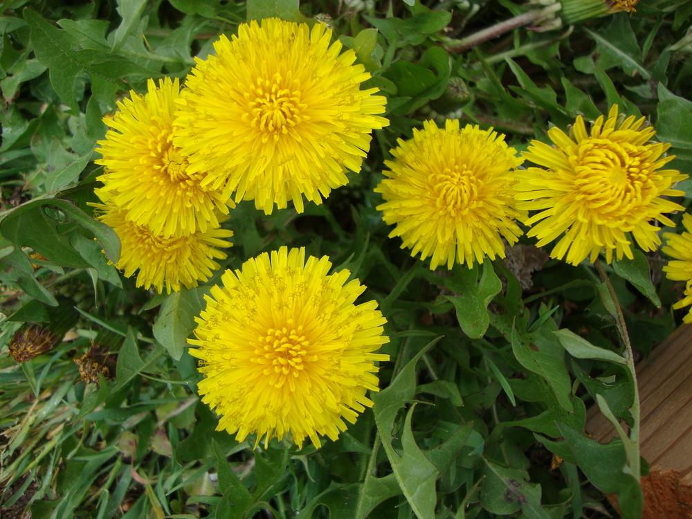 Photo of Dandelion (Taraxacum officinale) uploaded by Paul2032