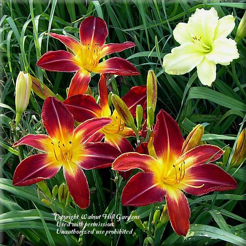 Photo of Daylily (Hemerocallis 'Ruby Spider') uploaded by vic