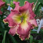Photo Courtesy of Fred Manning, Daylily Place. Used Wit
