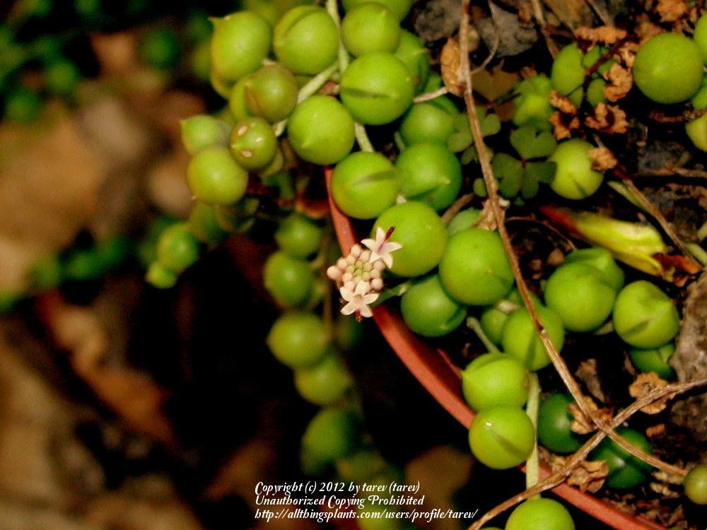 Photo of String of Pearls (Curio rowleyanus) uploaded by tarev
