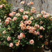 Location: My garden in Bakersfield, CADate: April 19, 2012 Michel Cholet tree rose