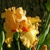 Location: Western KentuckyDate: April 2012This Iris is a prolific bloomer and increaser.