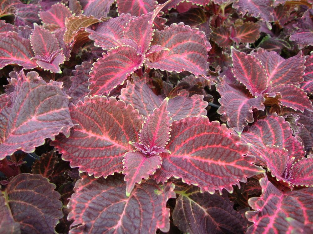 Photo of Coleus (Coleus scutellarioides 'Red Ruffles') uploaded by Paul2032