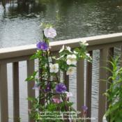 Location: Daytona Beach, FloridaDate: 2012-04-21 Growing with Philadelphus inodorus